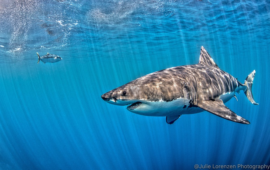 Shot was taken at Guadalupe Island.  One of the things I love to do if it is right for the photo ...