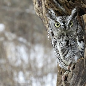 This Eastern Screech Owl Named Echo was taken at Mountsberg Raptor Centre.    Echo hatched in 2002.  If a Screech Owl feels threatened and is una...