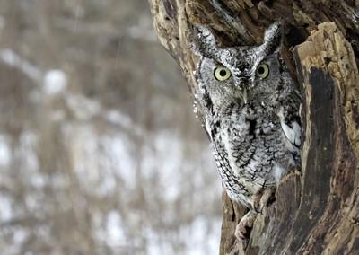 Eastern Screech Owl  Named Echo