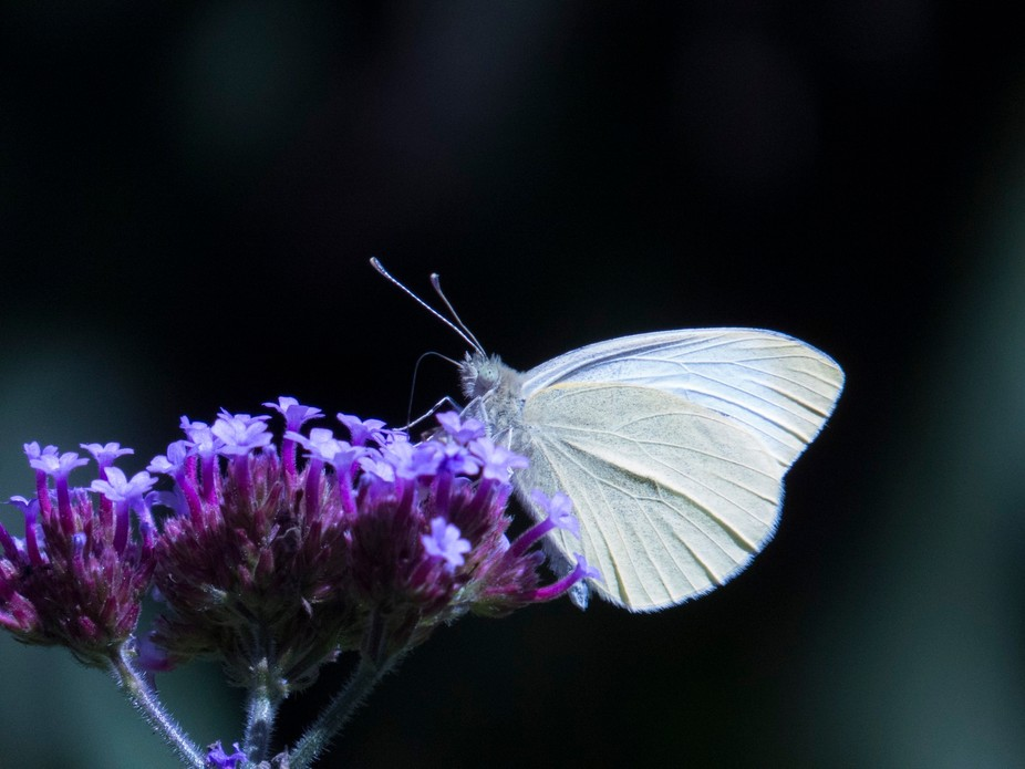 I have just started to photograph all the butterflies in my garden. During 2017 it will be all th...