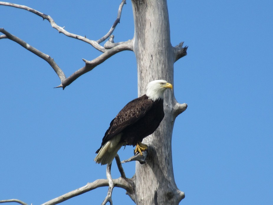 A bald eagle sitting in a dead tree in Alaska.