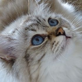 my beloved birman cat!