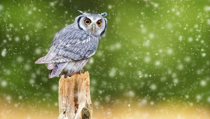 Owl & snow by VDPFreelancer - Only Owls Photo Contest