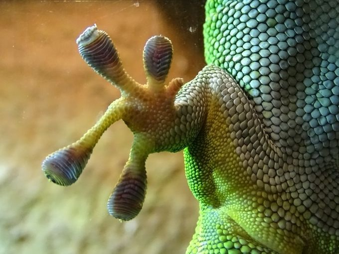 Gecco close up by nanetteankerlarsen - Reptiles Photo Contest