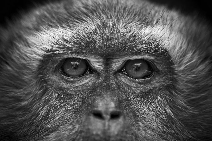 Fixed Eyes by chrisnaturegraphy - Monkeys And Apes Photo Contest