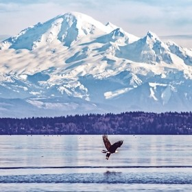 Bald Eagle and Mount Baker