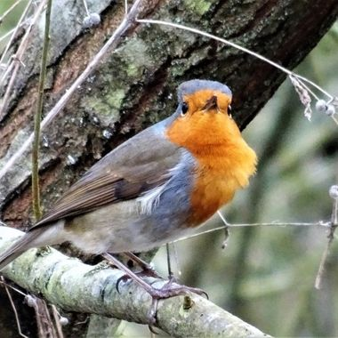 Out on my local Walk captured this adorable Robin so happy to pose for me