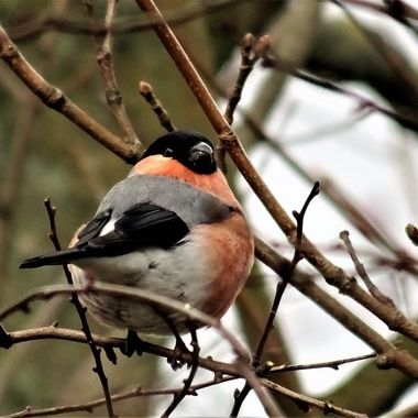 So Happy to capture this Beautiful Bullfinch not the easiest bird to photograph so timid