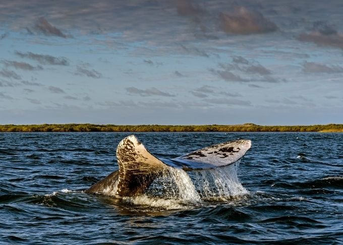 Grey Whale Tail by peterallinson - Wildlife And Water Photo Contest