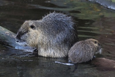 coypu with young