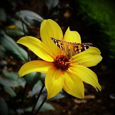 Lovely day photographing formal garden and loved the extra butterfly attraction