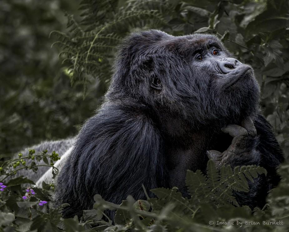 Shot in Volcanoes National Park Rwanda. This is Kwitonda, the most powerful of all the Rwandan Si...