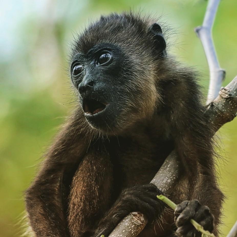 Baby Howler Monkey by uniquephotoarts - Wildlife Photo Contest 2017