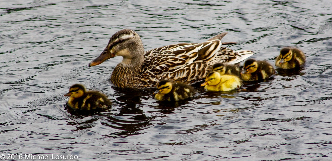 love these duck families