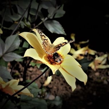 Lovely day photographing flowers with added attraction of butterfly & Bumble bee :)