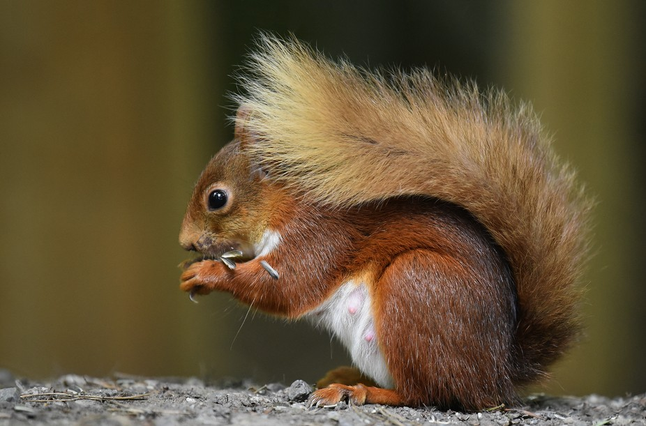 Very rarely seen in Ireland I was so lucky to see this beautiful adult female red Squirrel in the...