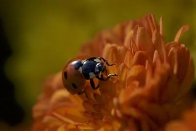 Ladybug on mum