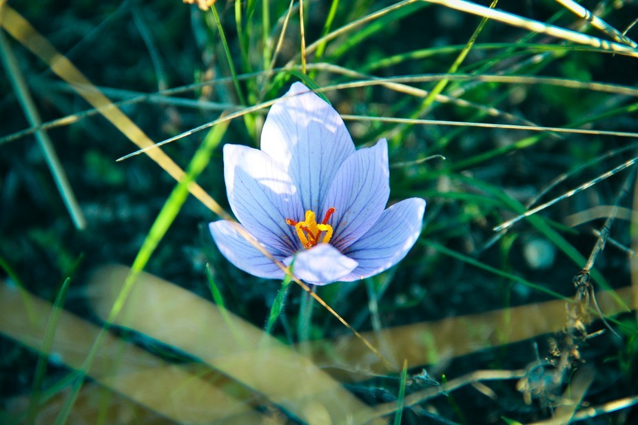 Greetings from autumn - a crocus