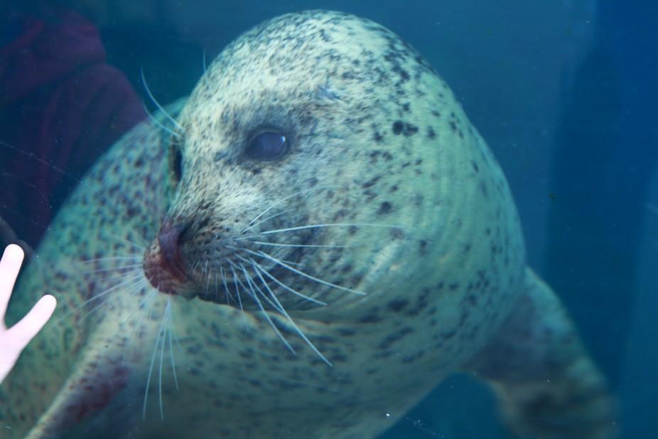 Harbor Seal at the Virginia Aquarium