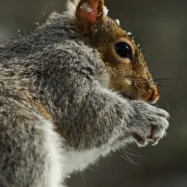 A close-up of a grey squirrel eating peanuts on a winter day.