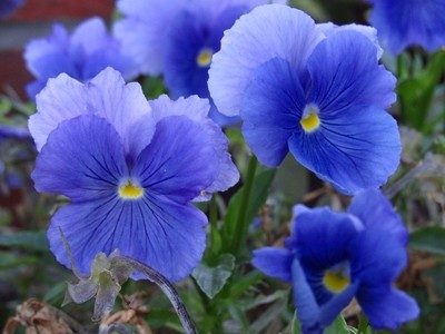 pansy blue