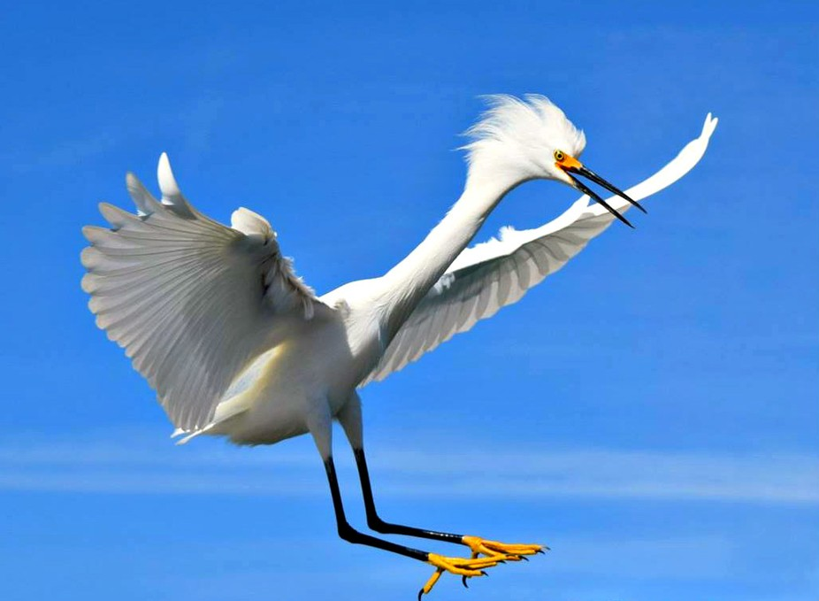 Snowy Egret coming into land