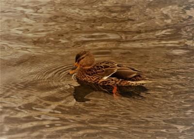 DSC_0368 female mallard duck
