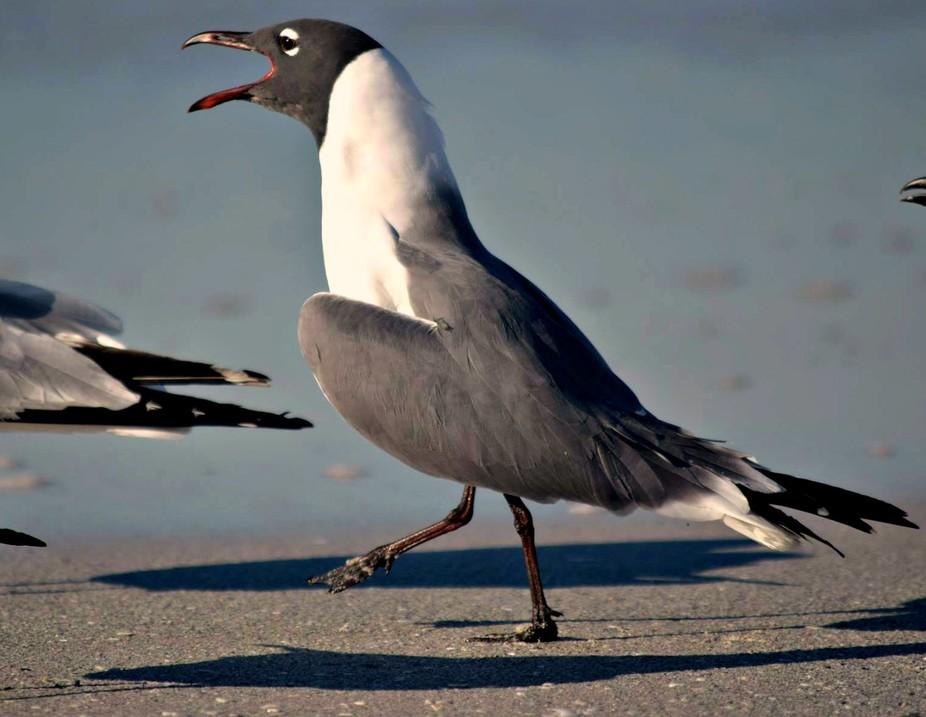 screaming gull