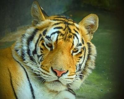 Sad tiger!