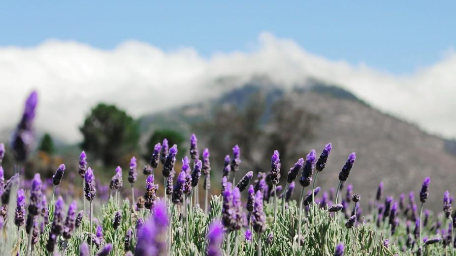Pure Lavender
