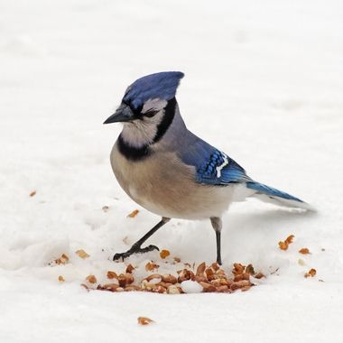 A blue jay eyeing a pile of peanuts in the snow.