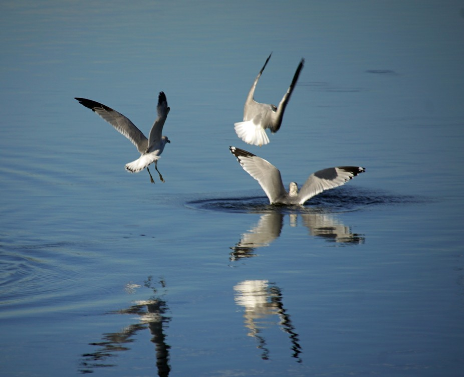 Gulls feeding in Beaufort, SC