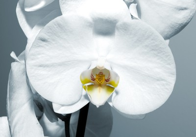 Phalenopsis Orchids (Moth Orchids)65a
