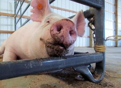 Pretty Pig (pet my nose)