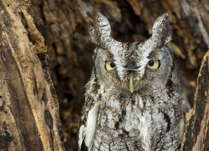 Eastern Screech Owl by BarbMarszalek - Beautiful Owls Photo Contest