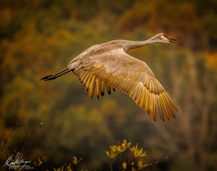 Sandhill Crane (Grus canadensis) flying over Wildwing Lake at the Kensington Metropark in South L...