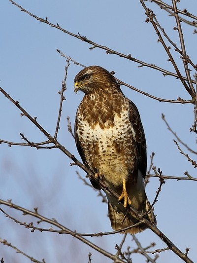 Common Bussard 2 7M9A0081a
