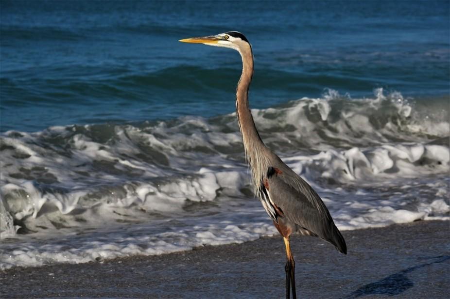 Grey Heron at the beach