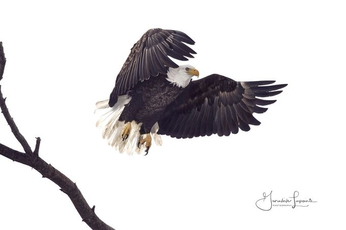 landing by genevievelapointe - Just Eagles Photo Contest