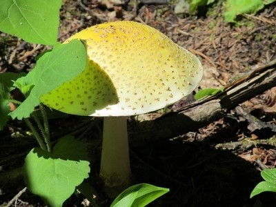 Mushroom14