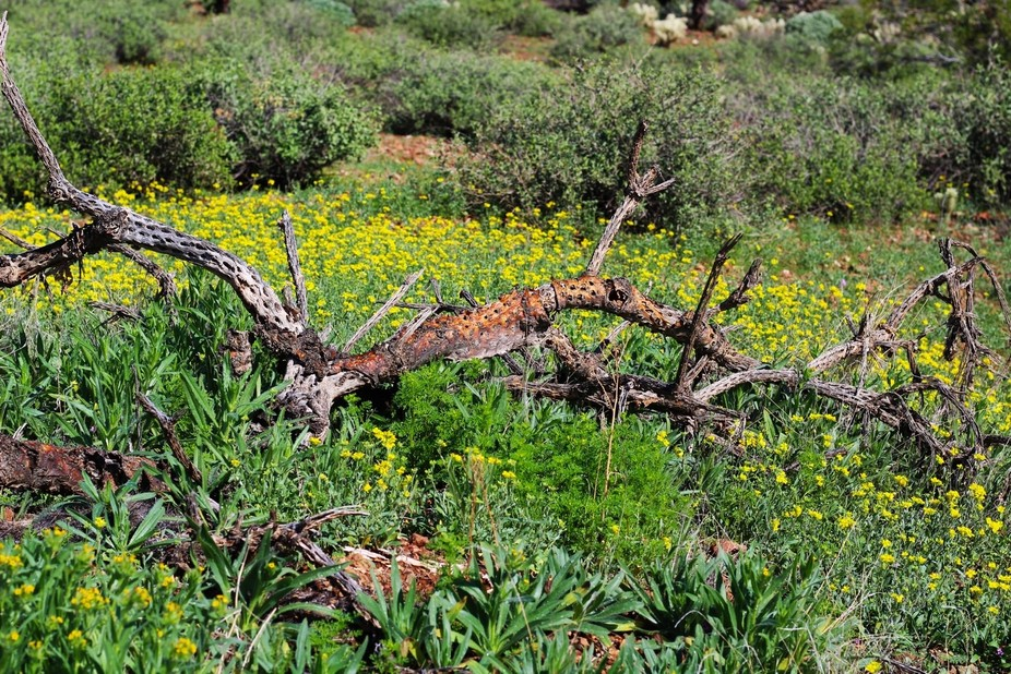 On a hike through Apache Wash Trail, I came across this dead  Ocatillo among this field of yellow...