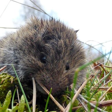 Meet Victor the Vole on the verge.