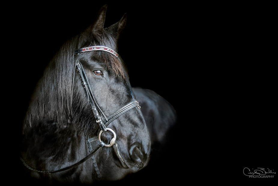 Portrait of a Friesian mare