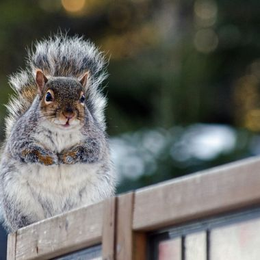 A grey squirrel on a wooden fence.