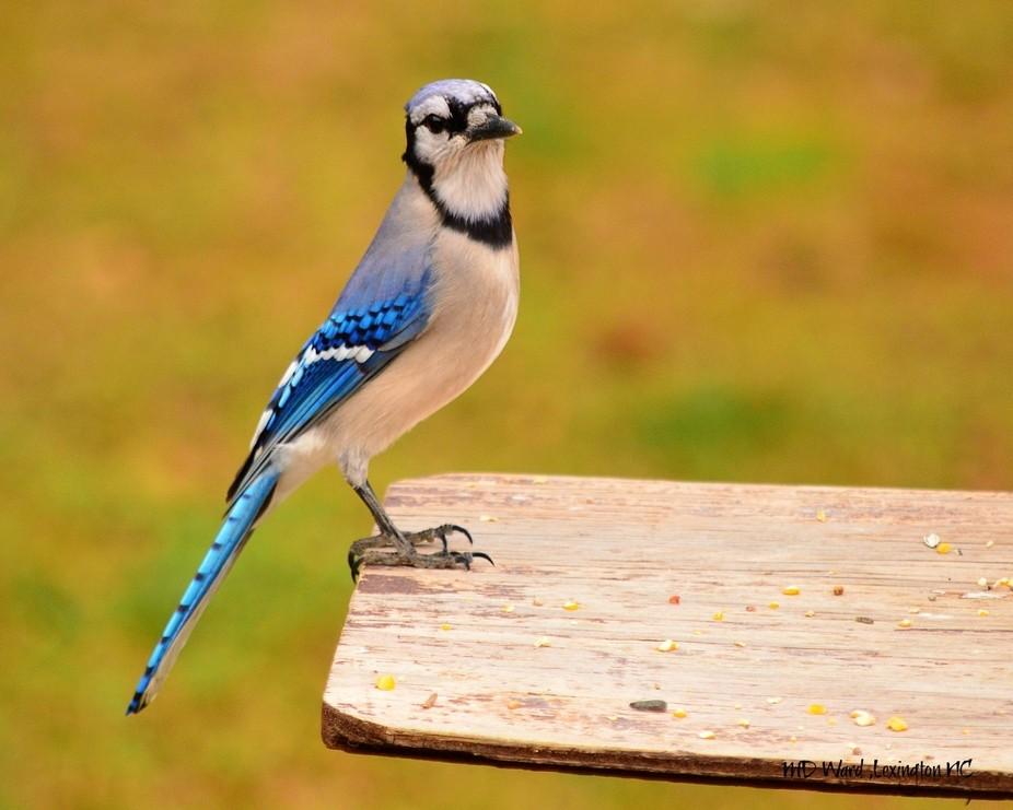 Blue jay at my feeder.