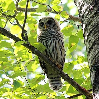 This Barred Owl was photographed in Bear Head Lake State Park.