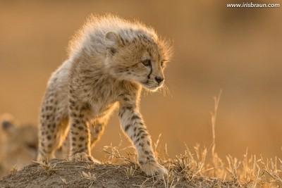Sunrise Cub