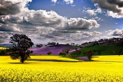 Field of Purple and Gold