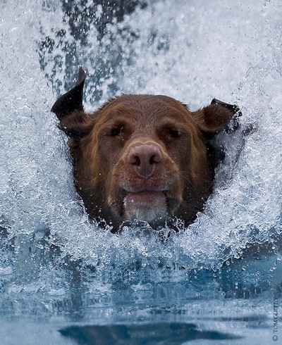"""Chester, a very large goofball, doing his thing.....AKA """"Waterhound"""""""