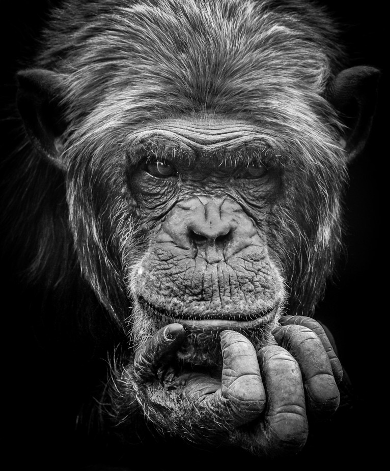 Chimpansee thinking by eddymaelliaert - Fill The Frame Photo Contest